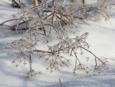 queen-annes-lace-ice-winter-maine_1_d6725547b847ae2f3eafbdd1cf1b4740