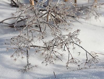 queen-annes-lace-ice-winter-maine_1_d6725547b847ae2f3eafbdd1cf1b4740